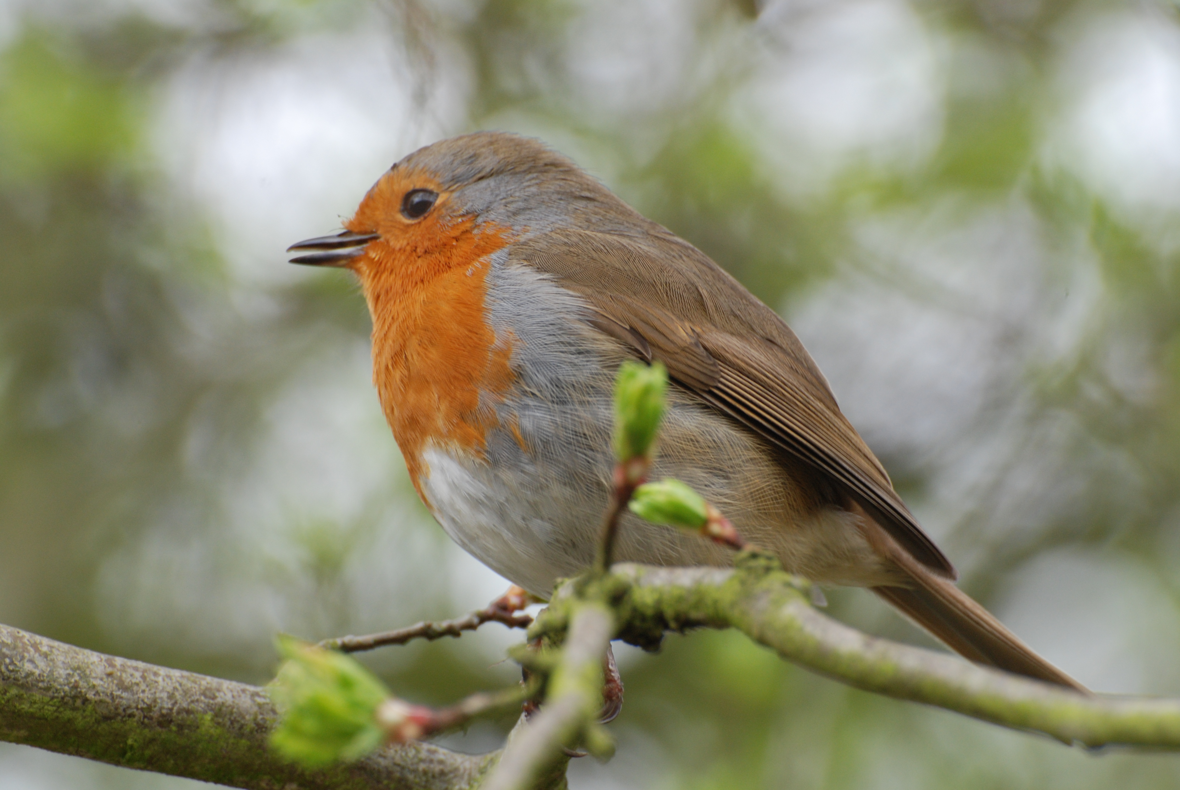 Image Gallery spring robin