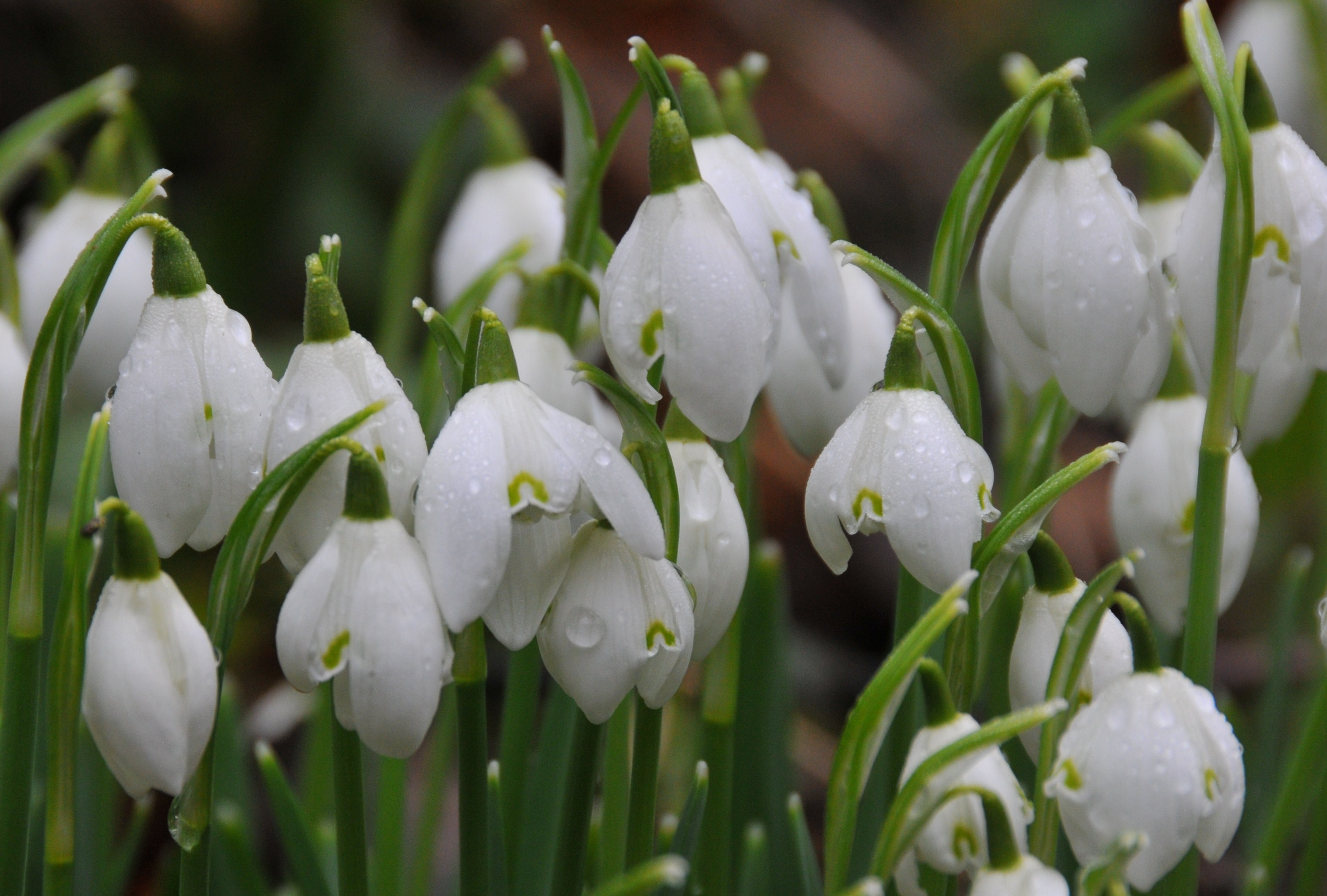 the snowdrops With 2,500 named varieties, the snowdrop world is a crowded, confusing one for the wannabe collector galanthophile andy byfield picks his favourites.