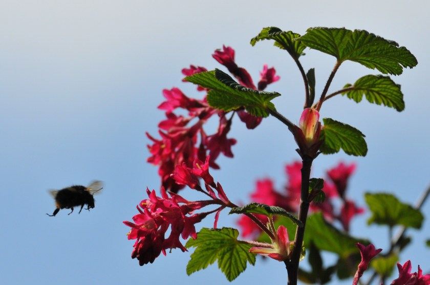 Bee flying towards flowering currant