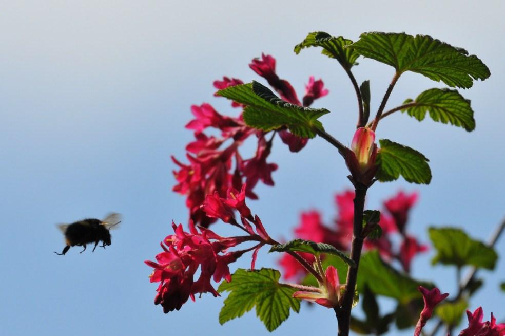 Bee flying towards flowering currant